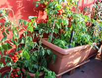 Ripe tomatoes and green plant in the terrace of house Royalty Free Stock Image