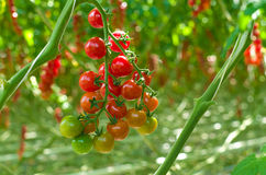 Ripe tomatoes in a greenhouse Royalty Free Stock Images