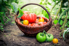 Ripe tomatoes in greenhouse Stock Photography
