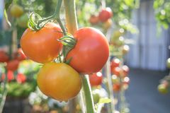 Ripe tomatoes growing on a branch in the garden Royalty Free Stock Image