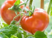 Ripe Tomatoes Growing Closeup Stock Photography