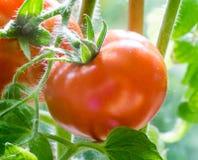 Ripe Tomatoes Growing Closeup Royalty Free Stock Image