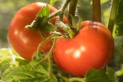 Ripe Tomatoes Growing Closeup Royalty Free Stock Photos