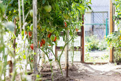 Ripe tomatoes  growing in a greenhouse. Stock Photography