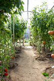Ripe tomatoes  growing in a greenhouse. Royalty Free Stock Photography