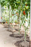 Ripe tomatoes  growing in a greenhouse. Royalty Free Stock Photos