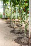 Ripe tomatoes  growing in a greenhouse. Stock Images
