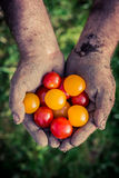 Ripe tomatoes in hands Royalty Free Stock Images