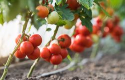 Ripe Tomatoes In Garden Stock Images