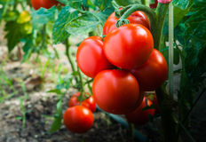 Ripe Tomatoes In Garden Ready To Harvest Royalty Free Stock Images