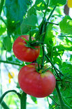 Ripe tomatoes natural. Growing on  branch Royalty Free Stock Images