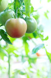 Ripe tomatoes natural. Ripen tomatoes  natural on branch Royalty Free Stock Image