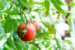 Ripe tomatoes natural on tomato plant. Red tomatoes on tomato plant Stock Images
