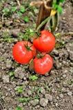 Ripe tomatoes Royalty Free Stock Photo