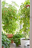 Ripe tomatoes plants pots balcony Stock Photo
