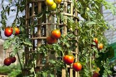 Ripe tomatoes Stock Image