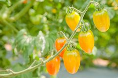 Ripe tomatoes on the tree Stock Photography