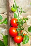 Ripe tomatoes on a rustic stone wall Royalty Free Stock Photography