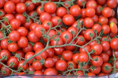 Ripe tomatoes on a vine royalty free stock images