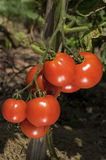 Ripe Tomatoes on the Vine Royalty Free Stock Photos