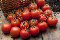 Ripe tomatoes on wooden bench Stock Photos