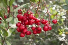 Ripe toyon fruit on branch Royalty Free Stock Image
