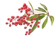 Ripe toyon fruit and leaves on white Royalty Free Stock Photography