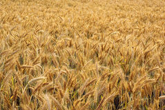 Ripe triticale field Royalty Free Stock Photography