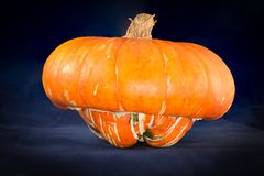 Ripe Turban Squash pumpkin. One Big ripe orange turban squash cucurbita  on a blue velvet background Royalty Free Stock Image
