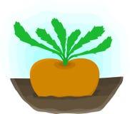 Ripe turnip grows on bed Stock Photos