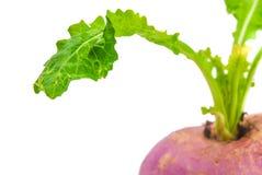 Ripe turnip Royalty Free Stock Image