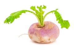 Ripe turnip Royalty Free Stock Photo