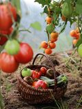 Tomatoes and zucchini in a basket in greenhouse stock images