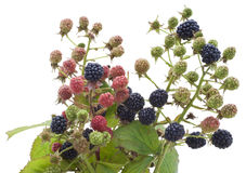 Ripe and unripe berries of a garden blackberry Stock Image