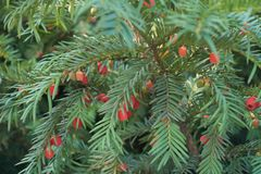 Ripe and unripe berries in the leafage of yew. Ripe and unripe berries in the leafage of taxus baccata Royalty Free Stock Images