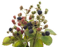 Ripe and unripe berries of wild  blackberry Stock Images