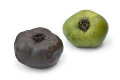Ripe and unripe black sapote fruit. On white background stock photo