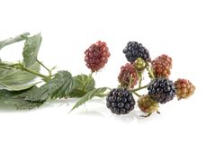 Ripe and unripe blackberries royalty free stock images