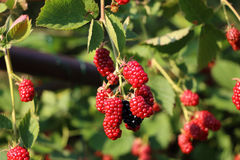 Ripe and unripe blackberries on the bush with defocused background stock image