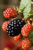 Ripe and unripe blackberries in the garden. Ripe and unripe blackberries on the bush in the house garden Royalty Free Stock Photos