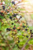 Ripe and unripe blackberries royalty free stock photo