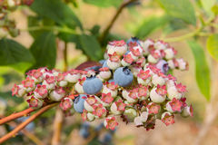 Ripe and unripe blueberries on blueberry bush Royalty Free Stock Images