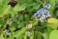 Ripe and unripe blueberries on the bush Royalty Free Stock Photos