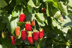 Ripe and unripe boysenberries growing on boysenberry bush in organic garden. Closeup of ripe and unripe boysenberries growing on boysenberry bush in organic royalty free stock photography