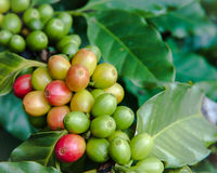 Ripe and unripe coffee  crop on tree Stock Photos