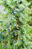 Ripe and unripe cone berries of Juniperus communis(common juniper) royalty free stock image