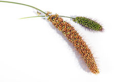 Ripe and Unripe Ears of Red Millet Royalty Free Stock Photography