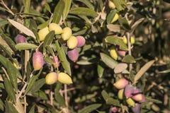 Ripe and unripe Kalamata olives on olive tree Royalty Free Stock Photo