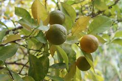 Ripe and unripe mediterranean oranges on the tree. Close-up of four green and yellow oranges on the branch of an orange tree with some green and yellow leaves in stock images