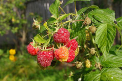 Ripe and unripe raspberries with green leaves. Fresh red and green berries of raspberry with green leaves on a sunny day in the garden Royalty Free Stock Photos